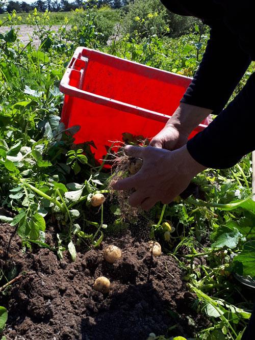 Een persoon oogst aardappelen op Île de Noirmoutier aan de Atlantische Kust van Frankrijk.