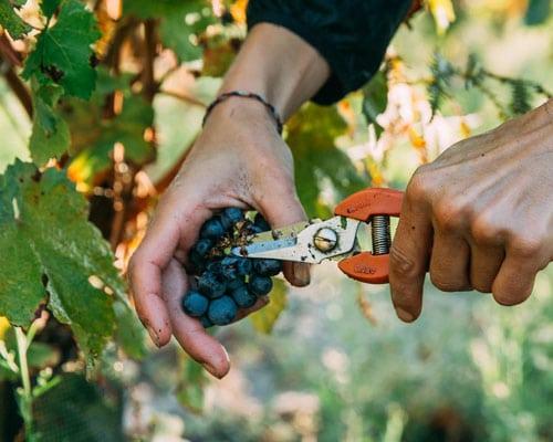 Weintrauben werden mit einer Schere geerntet.